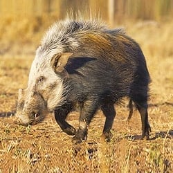 African Plains animals. Bushpig trophy hunting