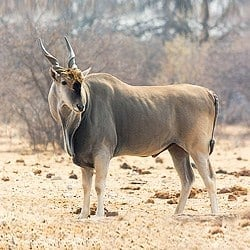 Eland bull in the dry season