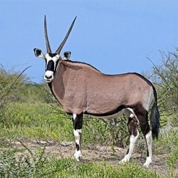 Gemsbok trophy standing in the arid karoo after recent rains