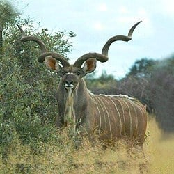 Kudu trophy hunting is challenging. kudu have amazing eyesight. Kudu are one of the most sort after animals for plains game hunting
