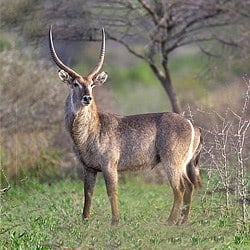 Waterbuck standing in the savanna