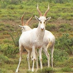 White Blesbok trophy hunting