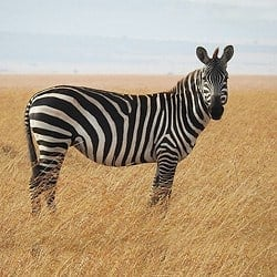 Zebra standing in the open plains of South Africa. Zebra make for a great plains game hunting and a great rug.