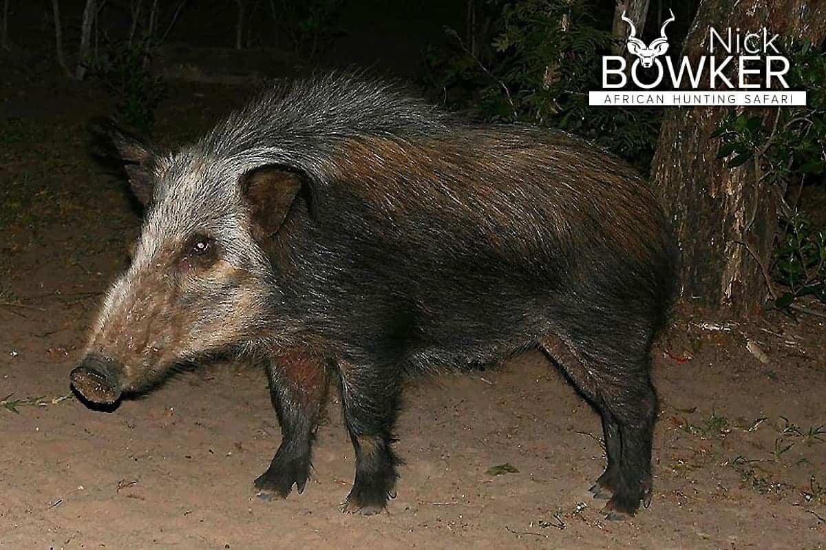 Bushpig female