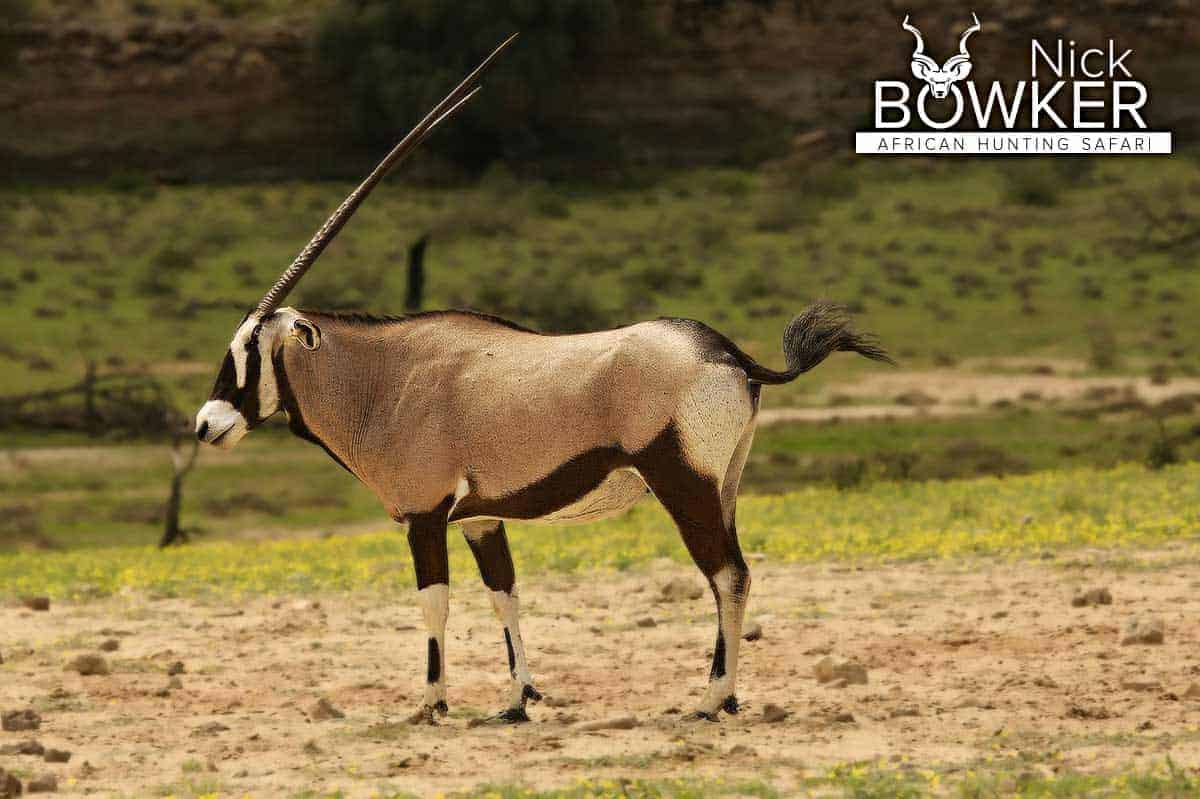 Female gemsbok. Female horns are longer and thinner and tend to curve backward.