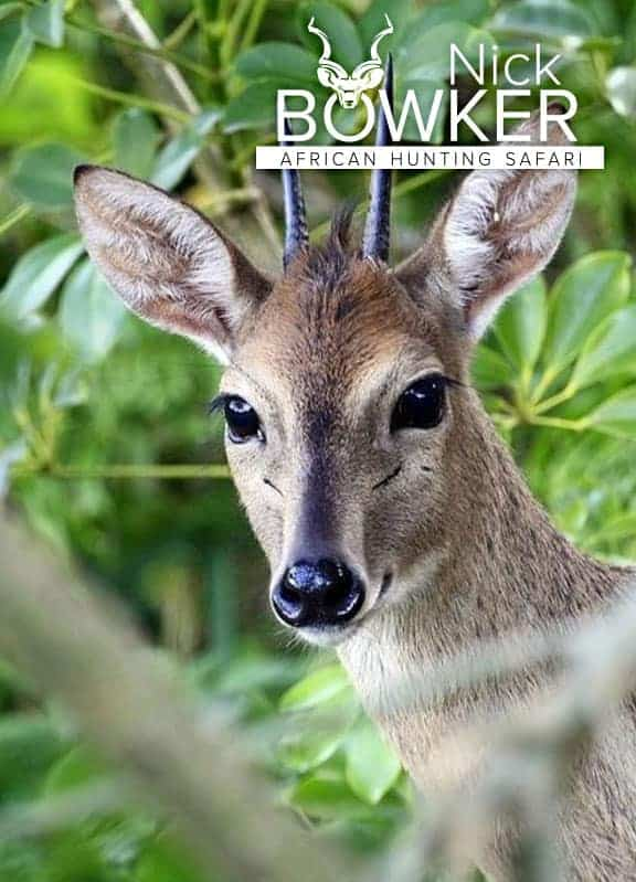 Grey duiker male. Only males have horns.