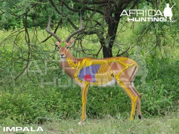 Vital organs. An impala should have a horn length of around 22 inches