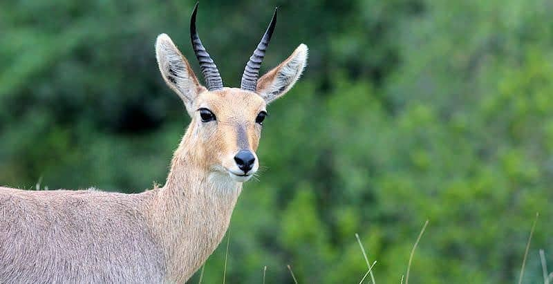 Mountain reedbuck male or ram. The males have horns while the females do not.