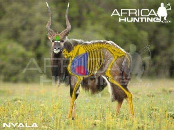 Vital organs of the Nyala. Horns should be approximately 24 - 26 inches