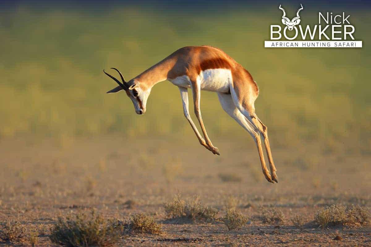 Springbok prancing on the plains