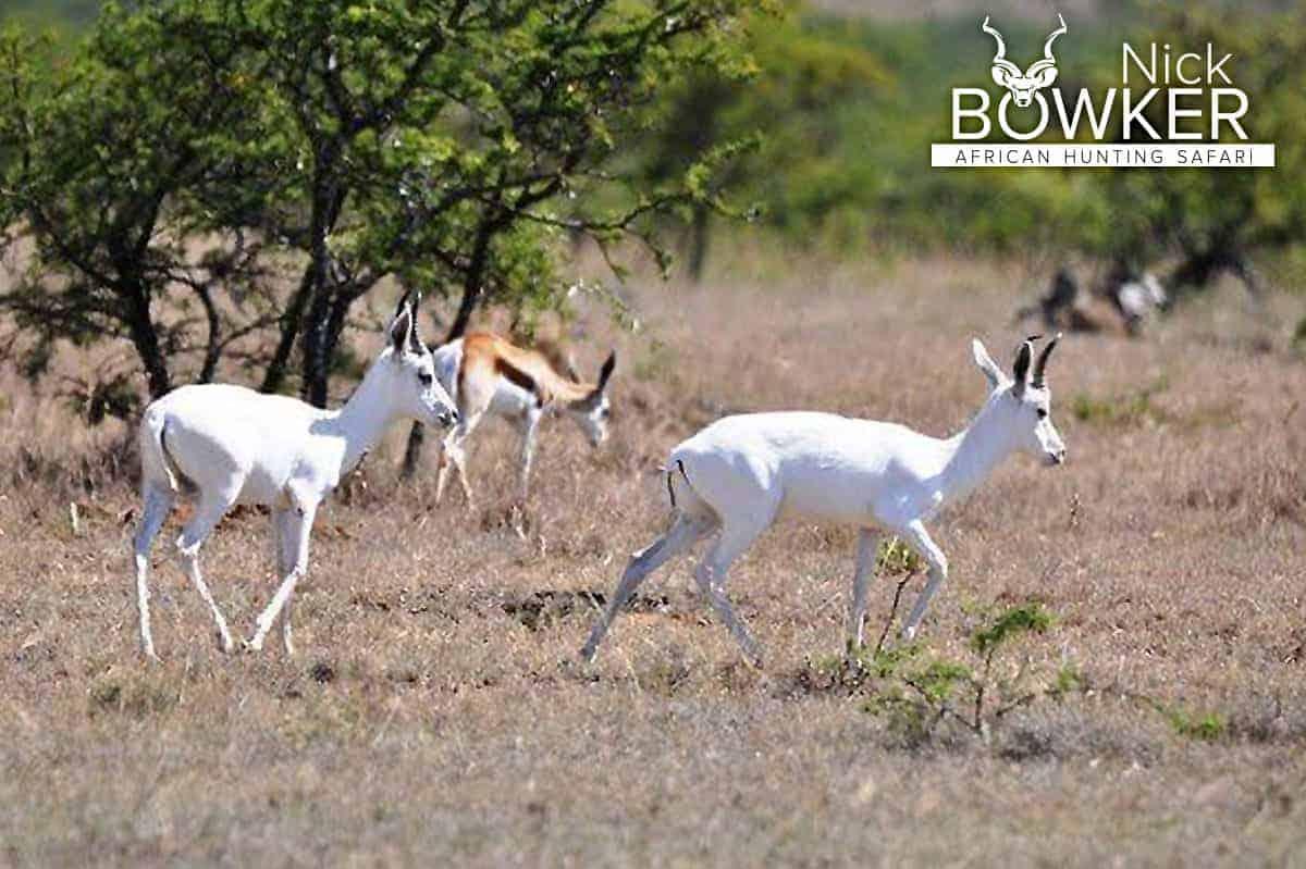 White springbok with common springbok on the grasslands