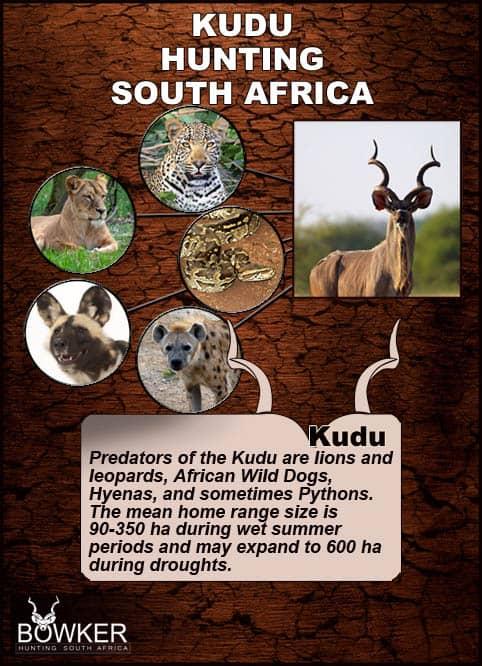 Kudu predators include the big cats.