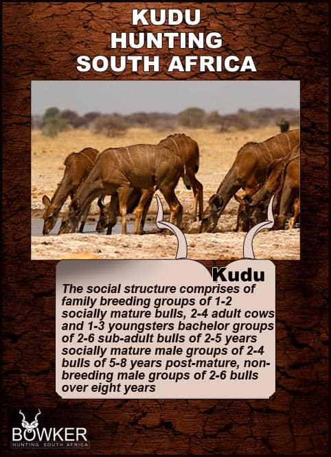 Social structure of kudu herds