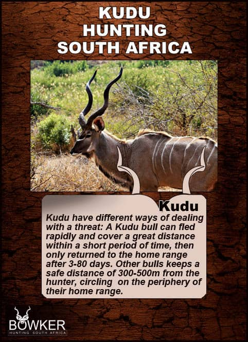 How kudu deal with threats during the stalk.