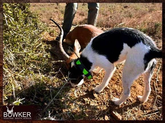 Black jack our hunting dog