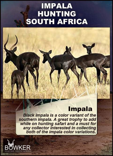 Black Impala is is a color variant of the common impala.