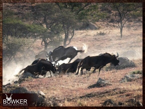Your black wildebeest trophy should have an average shoulder height of around 45 inches.