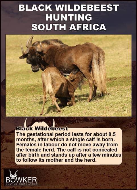 Black Wildebeest cow and calf on the savanna.