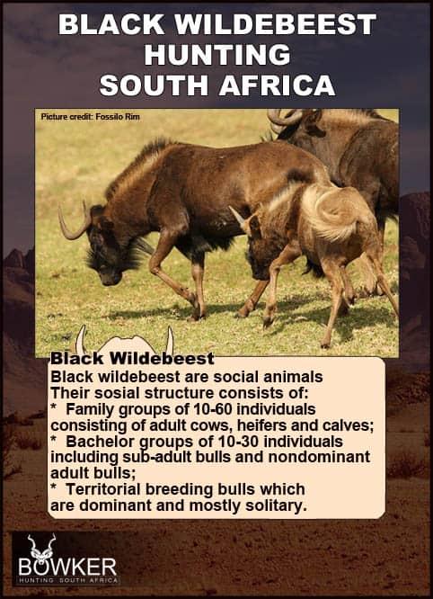 Black Wildebeest herd on the open plains.