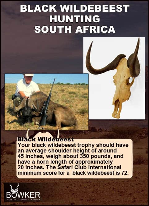 Black wildebeest trophy weighing 340 pounds.