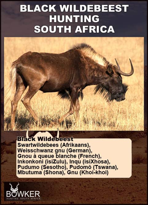 Black Wildebeest names in local African languages.