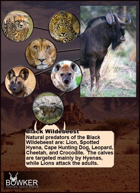 Black Wildebeest predators include Lion and Crocodile.