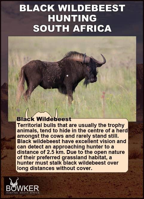 Black Wildebeest bull on the plains. Black Wildebeest have excellent vision.