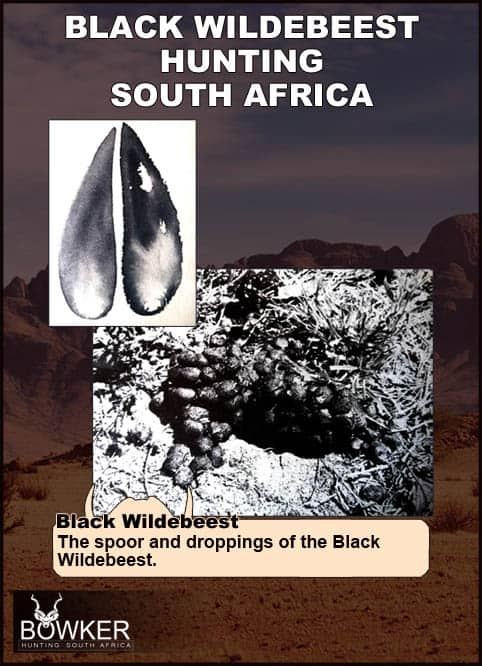 Black Wildebeest tracks and droppings.