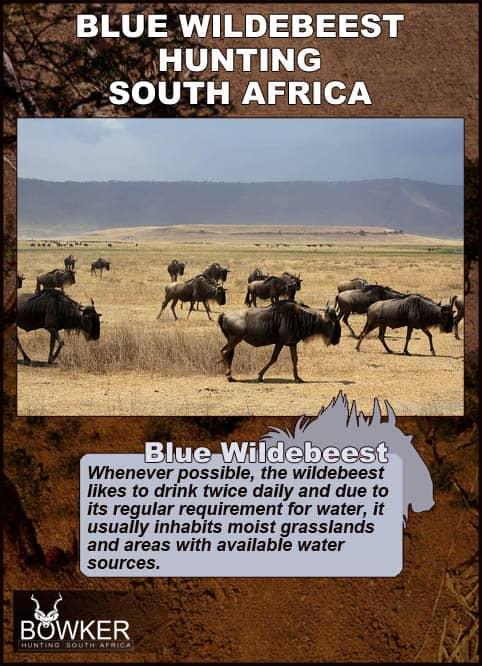 Blue Wildebeest drink twice daily.