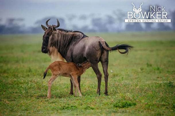 Blue Wildebeest female with calf standing on the plains. Females have thinner horns than males.