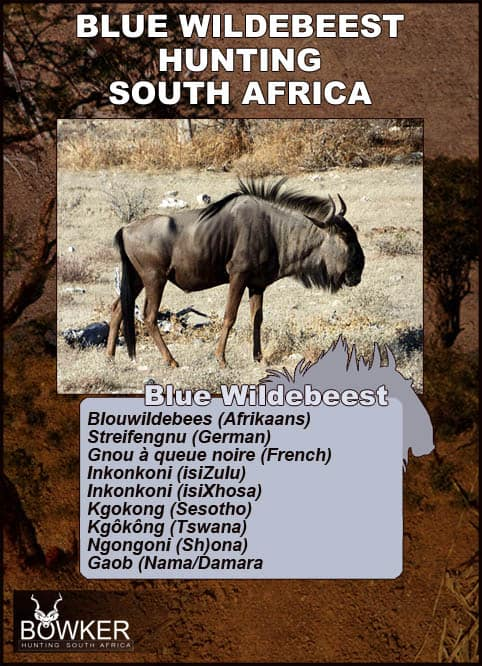 Blue wildebeest local names in South Africa.