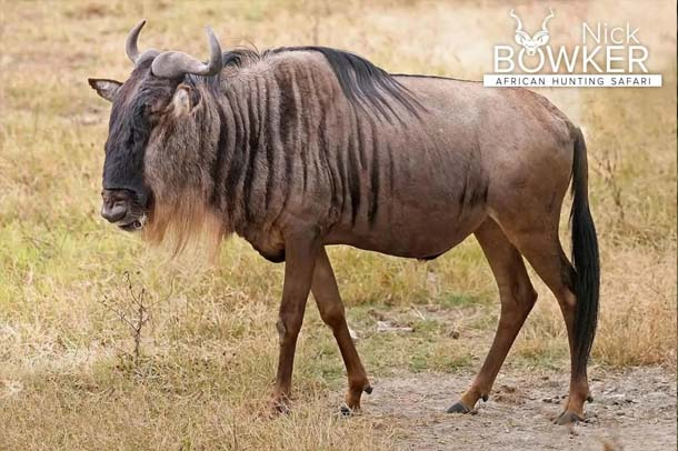 Blue Wildebeest male standing on the plains. Males have a blackface when mature.
