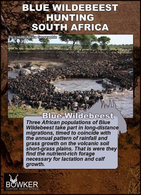 Blue Wildebeest migration.