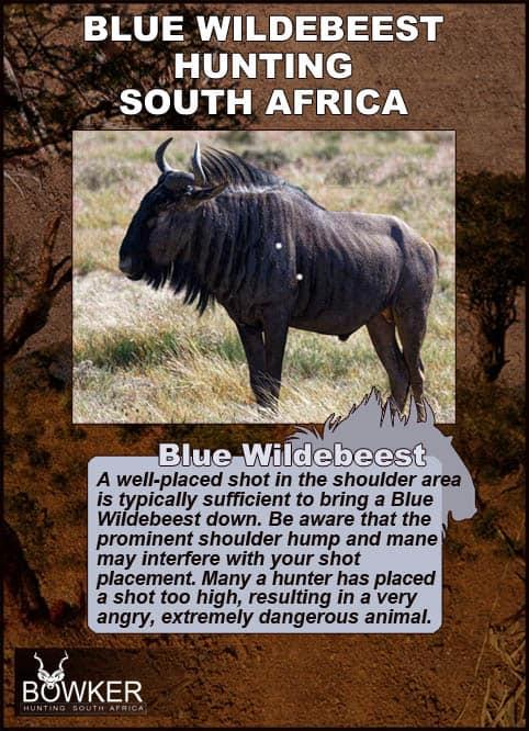 Blue wildebeest shot placement.