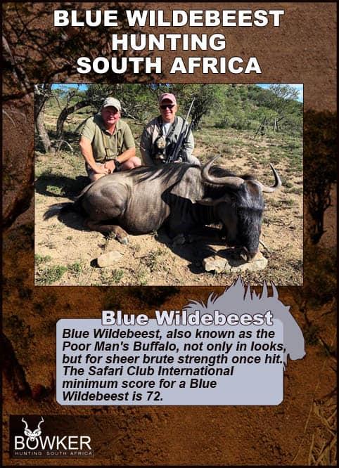 Blue wildebeest trophy judgement.
