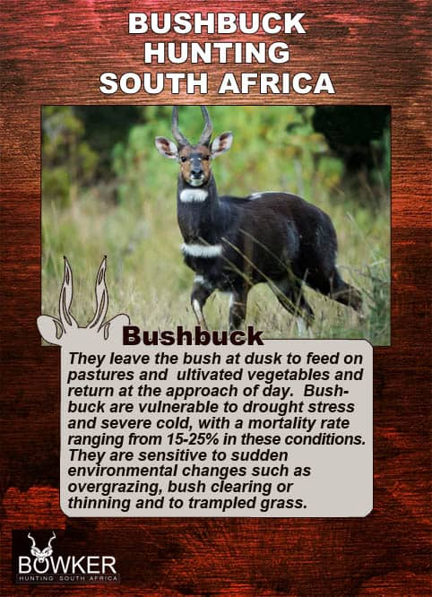 Bushbuck in the undergrowth. They are vulnerable to drought stress.