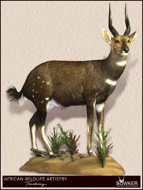 Bushbuck full mount
