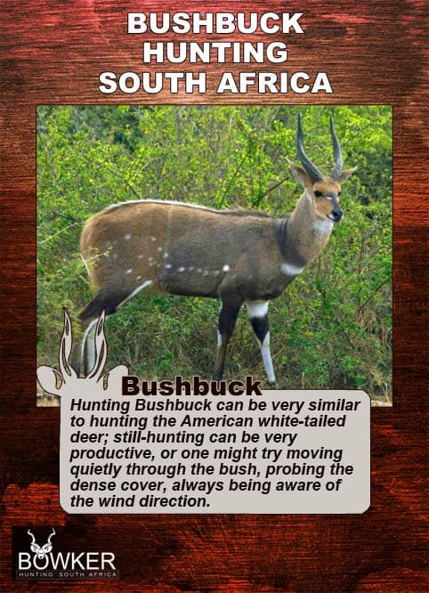 Bushbuck are stalked through dense cover.
