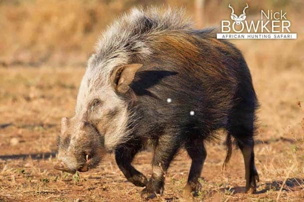 Shot placement for Bushpig hunting