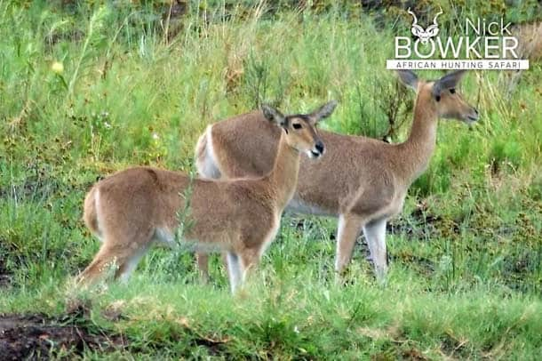 Common Reedbuck females with out any horns.