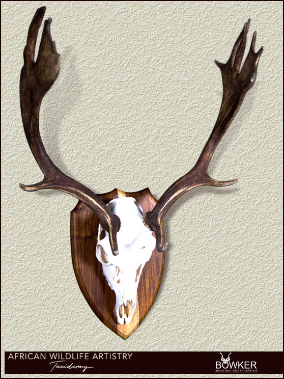 Fallow deer skull mount. South African taxidermist price list.