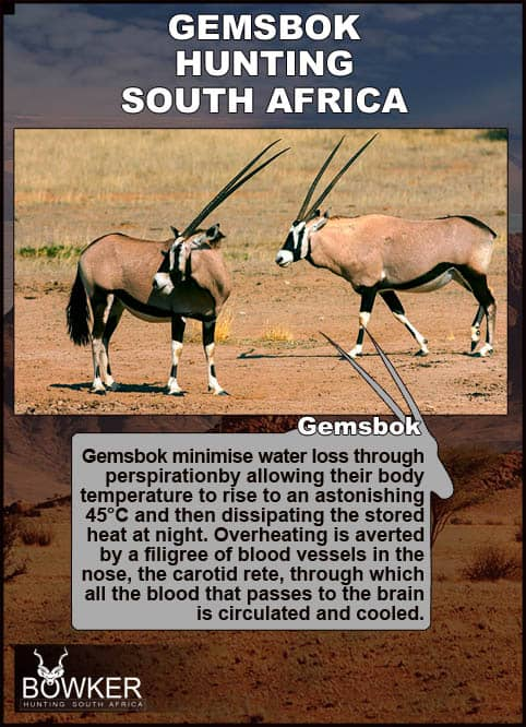 Gemsbok on dry plains. Gemsbok are able to minimise water loss.