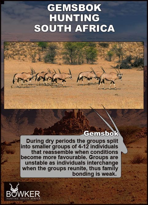 Gemsbok in dry landscape.These are  desert dwelling animal that prefers deserts, scrubland and brush land.