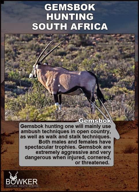 Gemsbok on arid terrain. There are various methods of hunting gemsbok in Africa.