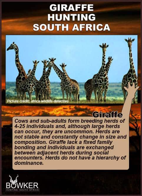 Giraffe herd on the plains. Giraffe herd sizes vary from 4 - 25.