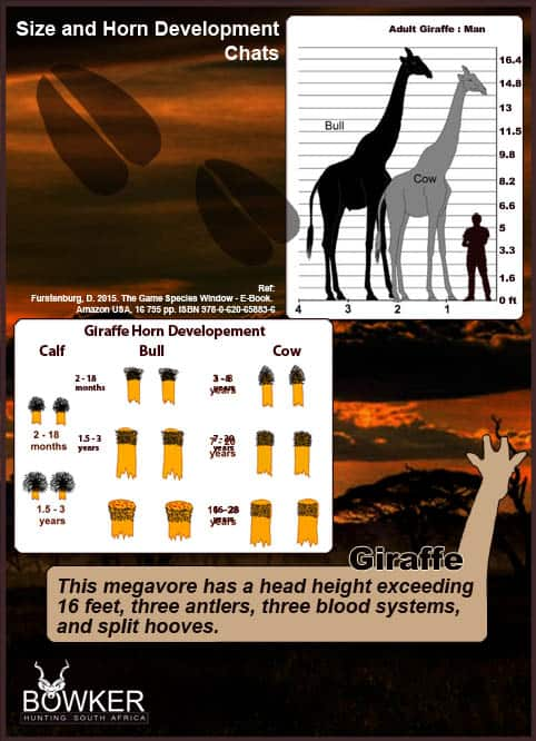 Giraffe horn development.
