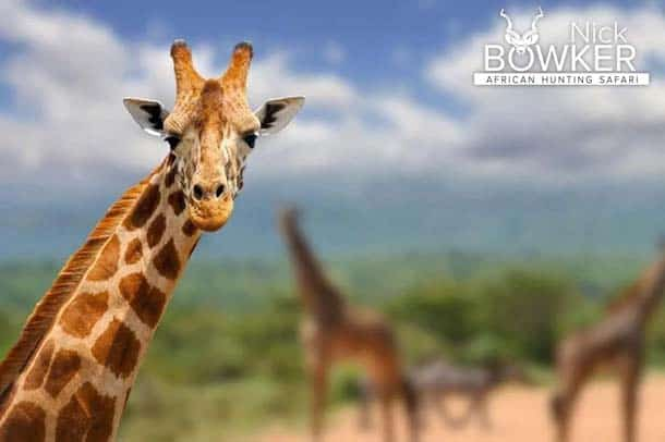 Giraffe male.The male has larger ossicones used for fighting and causes the fur to rub off.