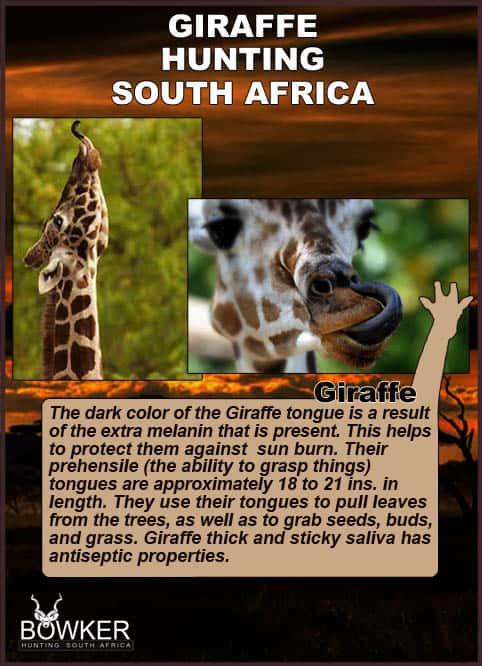 Giraffe hunting in South Africa. Giraffe have a prehensile tounge.