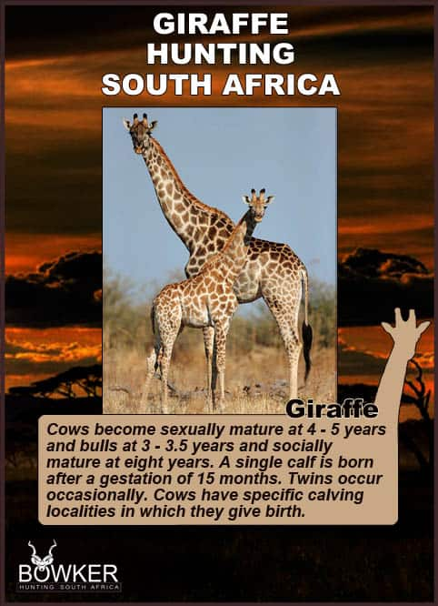 Giraffe mother and calf. The gestation period is 15 months.