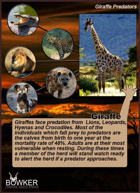 The Giraffes major predator is the lion.